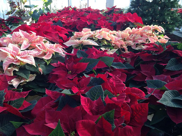 The Marsh Foundation youth are hosting their annual poinsettia sale. Orders are due Nov. 16. (Photo submitted)