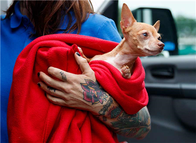 Laura Gretch, Humane Rescue Alliance transport manager, holds Frances, an 8-year-old Chihuahua mix who is one of the 26 cats and dogs arriving at Humane Rescue Alliance in Washington, Tuesday, Sept. 11, 2018, from Norfolk Animal Care and Control of Norfolk, Va., in advance of Hurricane Florence. People aren't the only ones evacuating to get out of the path of Hurricane Florence. The dogs and cats will all be available for adoption.(AP Photo/Carolyn Kaster)